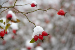Dog-rose branch with berries Stock Images