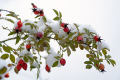 Dog-rose branch with berries Stock Photos