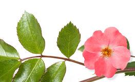Dog rose Stock Image