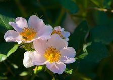 Dog-rose, briar, brier, canker-rose, eglantine. Rose flowers. rose flowers photographed in the mountains Stock Images