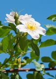 Dog-rose, briar, brier, canker-rose, eglantine. Rose flowers. rose flowers photographed in the mountains Royalty Free Stock Image