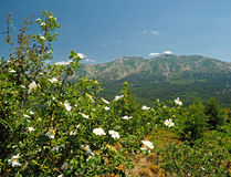 Dog rose bush with the snow spoted mountains. And the blue sky stock photo