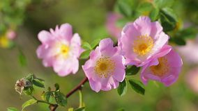 Dog rose bush in the wind