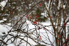 Dog rose bush in winter park stock photos