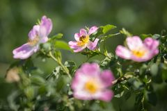Dog Rose Close-up: Pink Flower with Bee on it.  stock photo