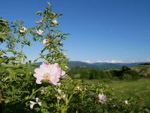 Pink Flower. Pink wild rose or dog-rose flowers with leafs on mountains background. Dog Rose Close-up: Pink Flower. Pink wild rose or dog-rose flowers with stock images