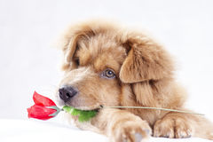 Dog And Rose Royalty Free Stock Photography