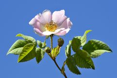 Dog rose flower Royalty Free Stock Photos