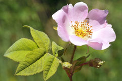 Dog rose flower Stock Images