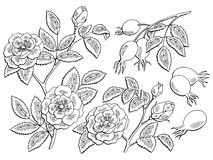 Dog rose flower berry plant graphic black white isolated sketch set illustration vector Stock Photography