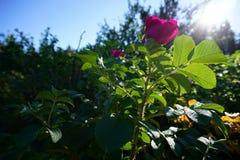 Dog-rose flower. Bloomed in sunny october day stock images