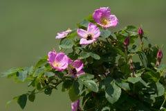 Dog rose flower Royalty Free Stock Images