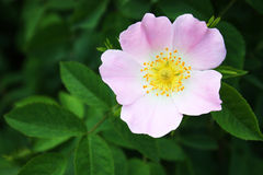Dog rose flower Stock Photography