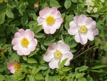 Dog rose flower Rosa canina. In the nature Stock Images