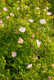 Dog Rose Royalty Free Stock Photography
