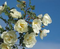 Dog rose flowers Stock Images