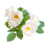 Dog rose flowers Royalty Free Stock Image