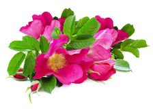 Dog-rose flowers bouquet. On white background Royalty Free Stock Image