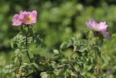 Dog Rose. Flowers - Rosa canina Stock Image