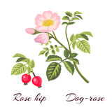 Dog rose flowers and rose hips. Stock Images