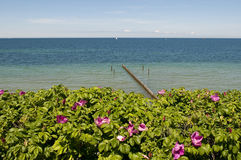 Dog rose in front of the sea. Dog rose in fron of the Baltic sea Stock Photography