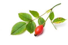 Dog rose fruit and leaves. rosa canina Royalty Free Stock Image