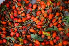 Dog-rose fruit! Plants royalty free stock images