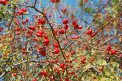 Dog rose fruits Stock Image