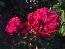 Dog rose fruits Royalty Free Stock Photography