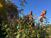 Dog rose fruits Stock Photos
