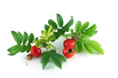 Dog Rose Hip Stock Photo