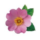 Dog rose hip. Realistic pink flower of a dogrose on a white background. Vector illustration stock illustration