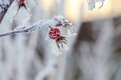 Dog rose hips frosen on a bush Stock Photos
