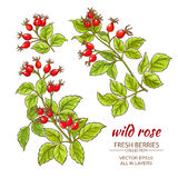Dog rose hips vector set. On white background Royalty Free Stock Images