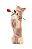 Dog with rose, isolated Stock Photos