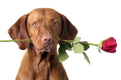 Dog with rose in mouth Royalty Free Stock Photo