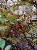 Dog rose. November morning Stock Photos