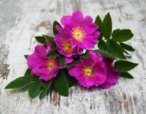 Dog rose Stock Photos