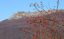 Dog rose over mountains Stock Photography