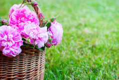 Dog Rose Pink Rosa Canina Flowers Basket Grass Royalty Free Stock Images