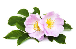 Dog rose Stock Photography