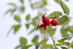 Dog rose - Rosa Canina Royalty Free Stock Image