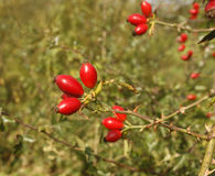 Dog rose, Rosa canina. Berries or hips, Midlands, UK Stock Photos