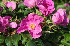 Dog rose Rosa canina briar flowers. Pink buds and petals royalty free stock photo