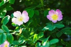Dog rose Rosa canina Royalty Free Stock Images