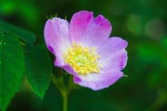 Dog rose Rosa canina Royalty Free Stock Image