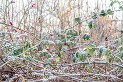 Dog rose Rosa canina covered by snow ice crystals stock photos