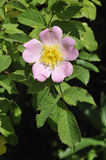 Dog Rose. Rosa canina Flower Stock Photos