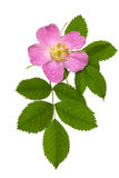 Dog rose, Rosa canina. Flower and leaves isolated against white Royalty Free Stock Image