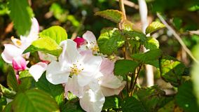 Dog Rose. Stock Image